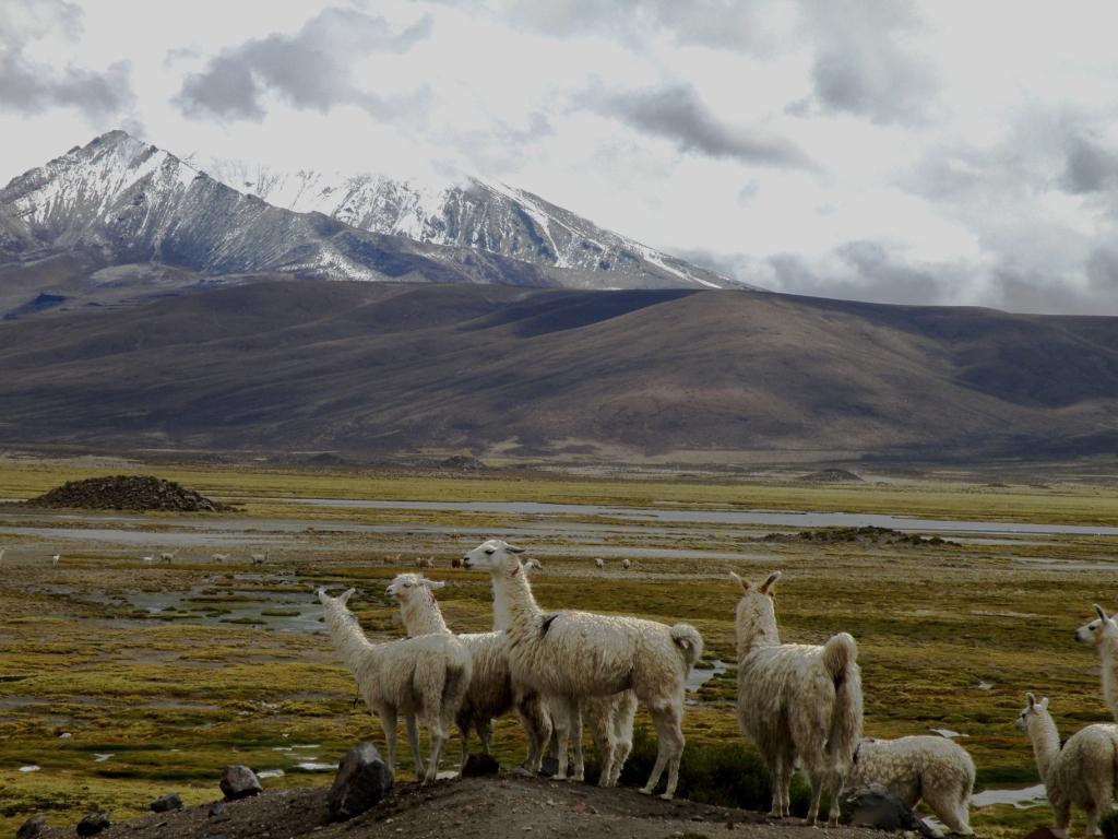 vicuñas-parinacota-Jaime